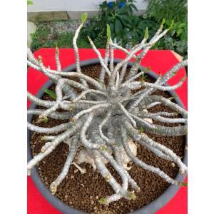 (現品)28 アデニウム タイ ソコトラナム Adenium Thai Socotranum|kagoen-nursery