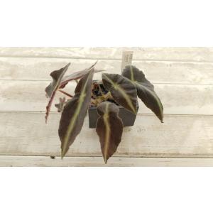木立性ベゴニア原種 リスターダ 陶器鉢入り 花、ガーデニング〉観葉植物(44700)|kagoen-nursery