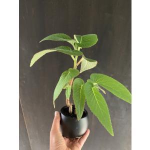 木立性ベゴニア 原種 エグレギア B.egregia 花、ガーデニング 観葉植物 (44700)|kagoen-nursery