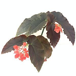 木立性ベゴニア アンナクリスティン |kagoen-nursery