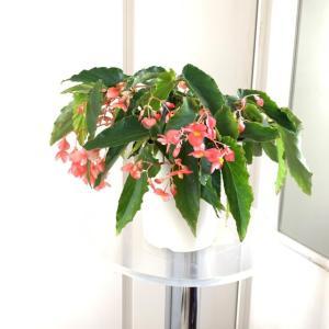 木立性ベゴニア マザーズ・ディ Mother's Day 花、ガーデニング 苗 花 (44713)|kagoen-nursery