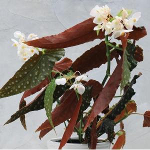 木立性ベゴニア ドットパール Dot Pearl|kagoen-nursery