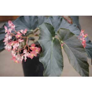 木立性ベゴニア ピンクシャンデリア Pink Chandelier|kagoen-nursery