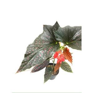 木立性ベゴニア ピンクスポット ルッチェルナ Pink Spot Lucerna|kagoen-nursery