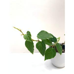 木立性ベゴニア フラグラント ビューティー Fragrant Beauty kagoen-nursery