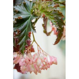 木立性ベゴニア アイリーン ナスIrene Nuss|kagoen-nursery