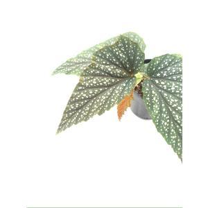 木立性ベゴニア アルゲンテア グッタータ Argentea-guttata|kagoen-nursery