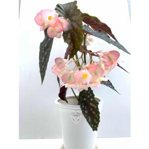 木立性ベゴニア 月宮殿 Gekkyuden|kagoen-nursery