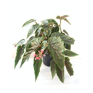 木立性ベゴニア ジニー Ginny kagoen-nursery
