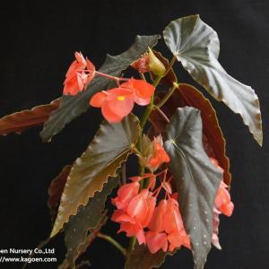 木立性ベゴニア スカーレットオハラ Scarlet O'Hara|kagoen-nursery