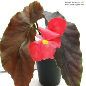 木立性ベゴニア スタンダール ザ・ベゴニア Standarl 'The Begonia'|kagoen-nursery