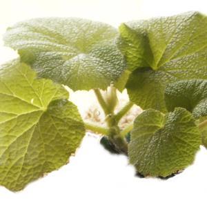 根茎性ベゴニア 原種 アキダ acida|kagoen-nursery