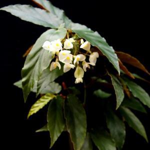 木立性ベゴニア 原種 ウンドゥラータ  B.undulata|kagoen-nursery