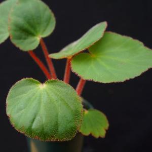根茎性ベゴニア 原種 イッタグアッシエンシス .itaguassuensis|kagoen-nursery