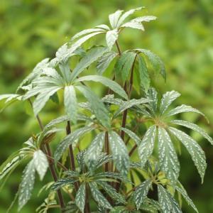 根茎性ベゴニア 原種 ヘムスレイヤーナ スポッティッド hemsleyana 'spotted'|kagoen-nursery