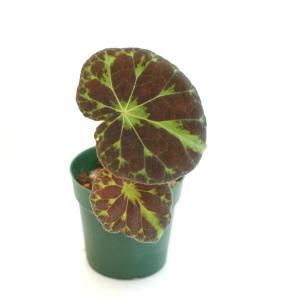 根茎性ベゴニア 原種 バルサロウクシエ barsalouxiae|kagoen-nursery