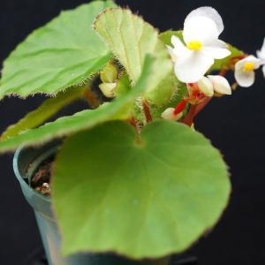 根茎性ベゴニア 原種 レプローサ leprosa|kagoen-nursery