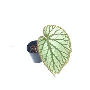 根茎性ベゴニア 原種 タイsp. Tahiland SP.|kagoen-nursery