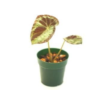 根茎性ベゴニア 原種 ブルキリ bulkilli|kagoen-nursery