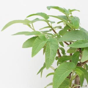 木立性ベゴニア 原種 エグレギア B.egregia|kagoen-nursery