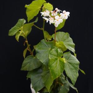 木立性ベゴニア オドラータアルバ Odorata Alba|kagoen-nursery