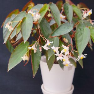 木立性ベゴニア 原種 オブスクラ B.obscura|kagoen-nursery