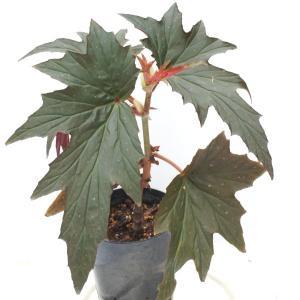 木立性ベゴニア 原種 オルガネンシス B.organensis|kagoen-nursery