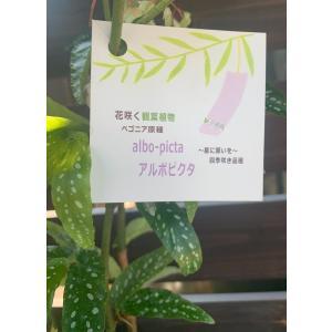笹の葉ベゴニア アルボピクタ|kagoen-nursery