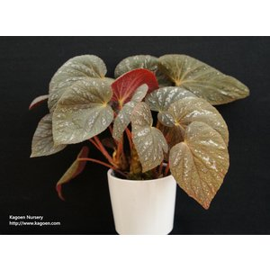 根茎性ベゴニア 原種 タイsp.|kagoen-nursery