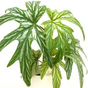 木立性ベゴニア 原種 アコ二ティフォリア aconitifolia|kagoen-nursery