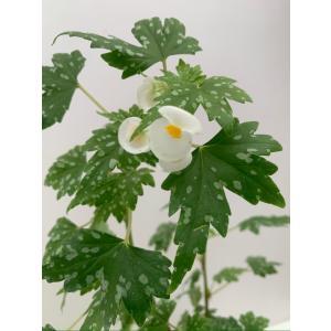 球根性ベゴニア 原種 ドレゲイ(水玉タイプ) B.dregei|kagoen-nursery