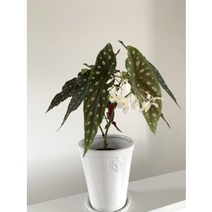 木立性ベゴニア 原種 マクラータ B.maculata 陶器鉢セット|kagoen-nursery