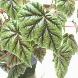 木立性ベゴニア 原種 メタリカ metallica|kagoen-nursery