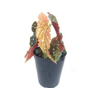 木立性ベゴニア 原種 マクラータ ワイティイ B.maculata var.wightii|kagoen-nursery