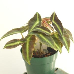 木立性ベゴニア 原種 リスターダ listada|kagoen-nursery