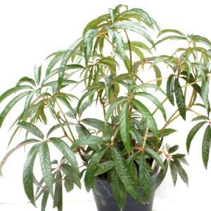 木立性ベゴニア 原種 ルクソリアンス luxurians|kagoen-nursery
