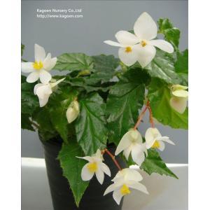 木立性ベゴニア 原種 アクミナータ B.acuminata|kagoen-nursery