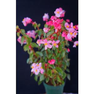 木立性ベゴニア 原種 クベンシス B.cubensis|kagoen-nursery