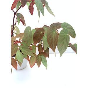 木立性ベゴニア 原種 ディートリッヒアーナ B.dietrichana|kagoen-nursery