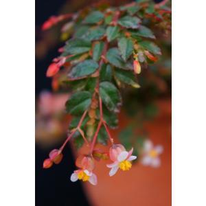 木立性ベゴニア 原種 フォリオーサ B.foliosa|kagoen-nursery