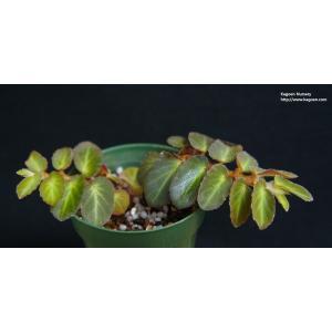 木立性ベゴニア 原種 テルマエ thelmae|kagoen-nursery