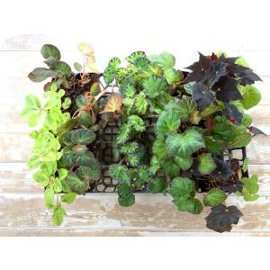 ベゴニアン ベゴニアン Wreath材料 28株セット (44700) |kagoen-nursery