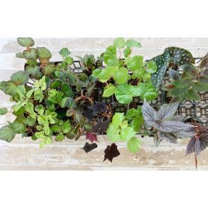 ベゴニアハンギングバスケット材料花、ガーデニング 観葉植物 (44700)|kagoen-nursery