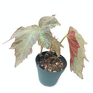 根茎性ベゴニア サラバンド Sarabande|kagoen-nursery