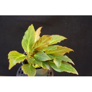 根茎性ベゴニア ゴールデンサンズ Golden Sans|kagoen-nursery