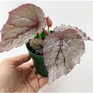 根茎性ベゴニア シルバーローズ Silver Rose 花、ガーデニング 観葉植物 (44700)|kagoen-nursery