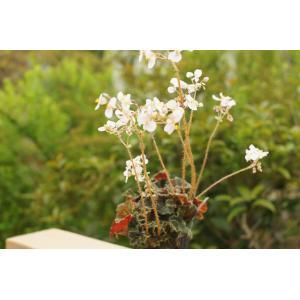 根茎性ベゴニア ニューファッション New Fashion 花、ガーデニング 観葉植物 (44700)|kagoen-nursery
