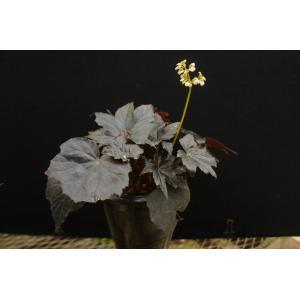 根茎性ベゴニア バッシュフルバンディット Bashful Bandit 花、ガーデニング 観葉植物 (44700)|kagoen-nursery