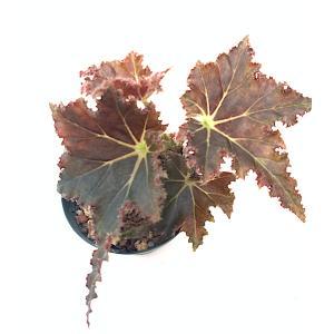 根茎性ベゴニア ムンチキン Munchkin|kagoen-nursery