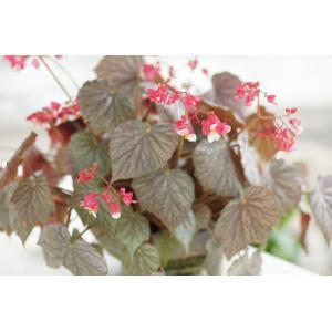 根茎性ベゴニア ミラージュ Mirage|kagoen-nursery